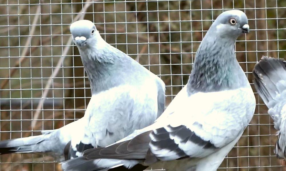Берлинские голуби фото