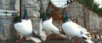 Будапештские голуби