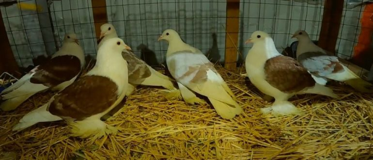 Видео обзор ярмарки голубей в Москве 27 марта 2021 года