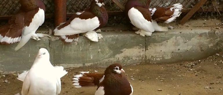 Волжские ленточные и красногрудые голуби