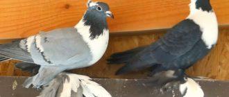 Воронежский белозобый голубь
