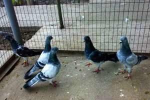 Продам высоколётных будапештских голубей