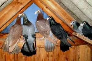 Продам голубей драконов