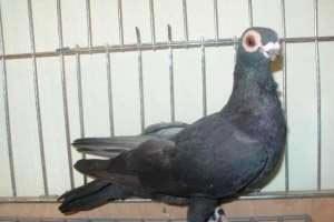 Продам голуби бельгійські