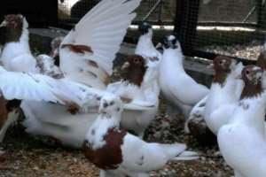 Продам бойных голубей, иранской породы