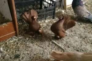 Продам голубей - статные ейские