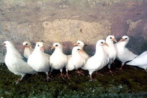Голуби почтовые молодые белые