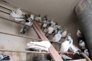 Продам Индо-пакистанских голубей