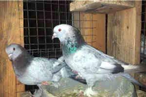Продам турецких голубей такла